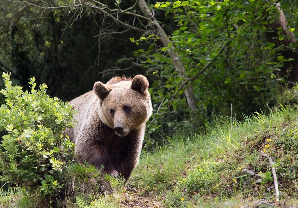 Cruzar genética y estadística para mejorar el censo de osos