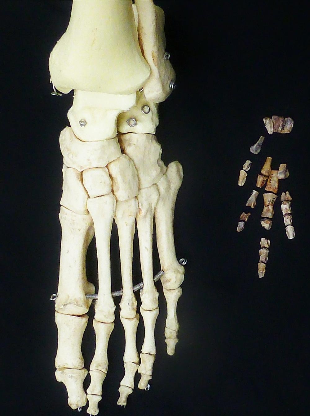 Comparación pie humano y pie dinosaurio Vegagete.