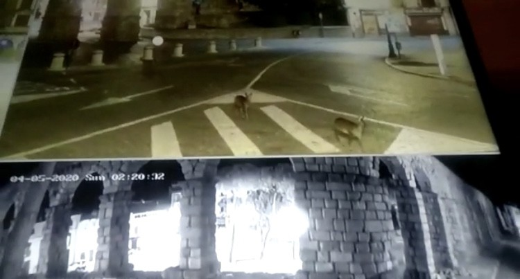 La naturaleza se abre paso en Segovia: corzos en el Acueducto