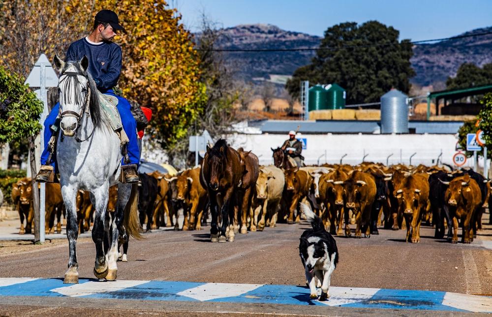 reportsaje en Pozo de La Serna sobre la trashumancia, por la cañada real de Cuenca, que dicurre cerca de villanueva de la Fuente, en la pedanÁa de Pozo de la Serna, ovejas, vacas, pastores a caballo, ganado, campo trashumancia