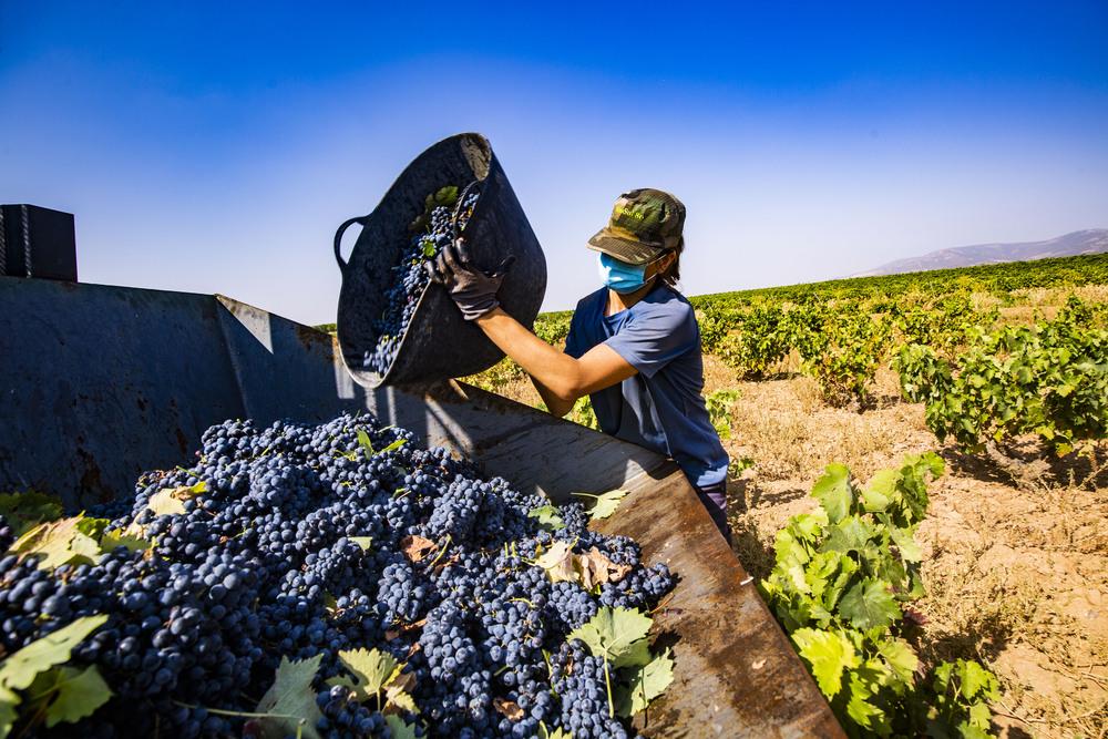 inicio de la vendimia en Villarubia, en la coperativa del Progreso, uva, uvas, vendimia, inicio de la vendimia, viñas