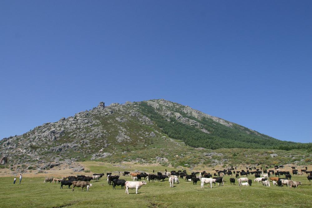 Las reses trashumantes inician el camino de vuelta a Gredos