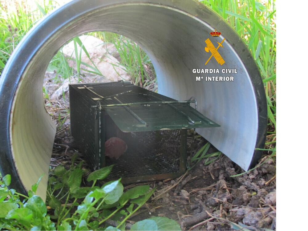 Trampa para pequeños carnívoros descubierta en otra intervención el 18 de mayo.