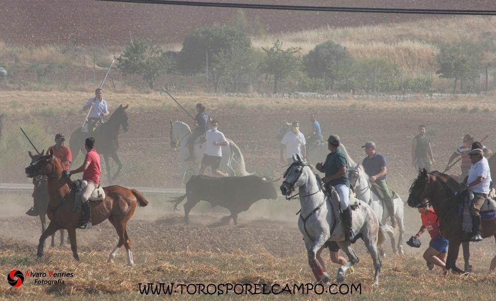 La Federación Taurina valora el primer encierro por el campo