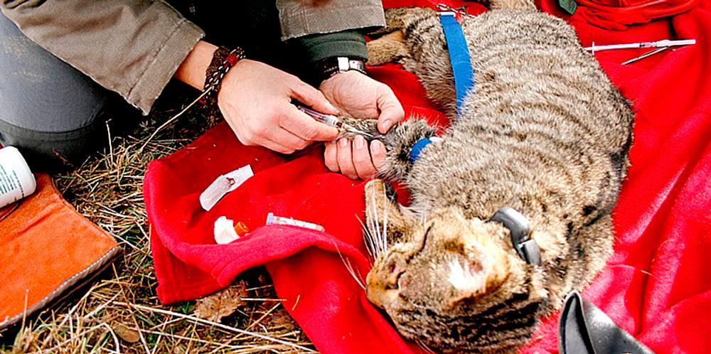 Obtención de muestras de sangre de un gato montés.