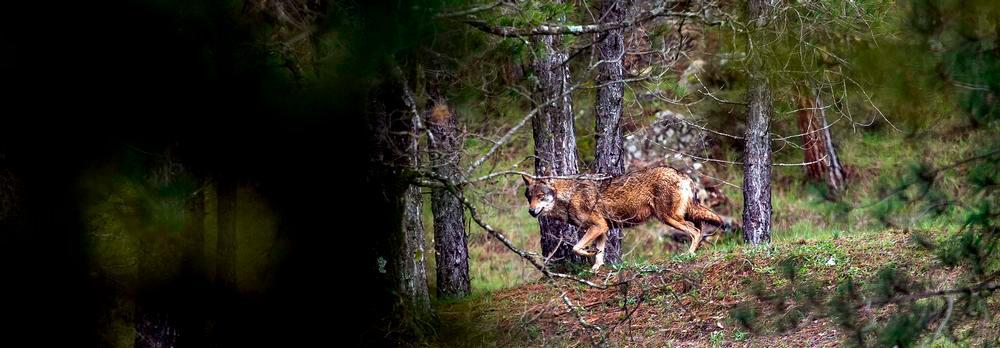 Abandonados ante el lobo