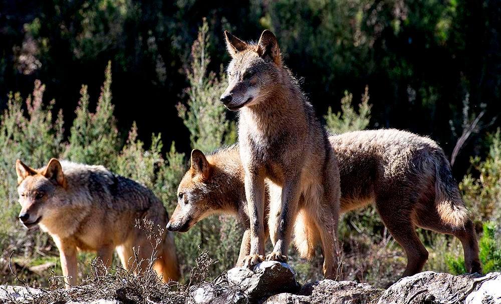Un grupo de lobos ibéricos.