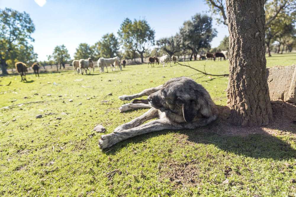 Se acabó la caza del lobo. Y ¿la ganadería?