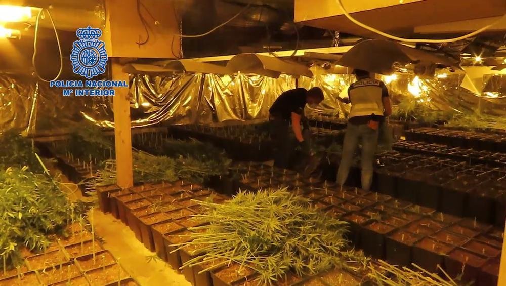 Desmantelada una macroplantación de marihuana en Tomelloso
