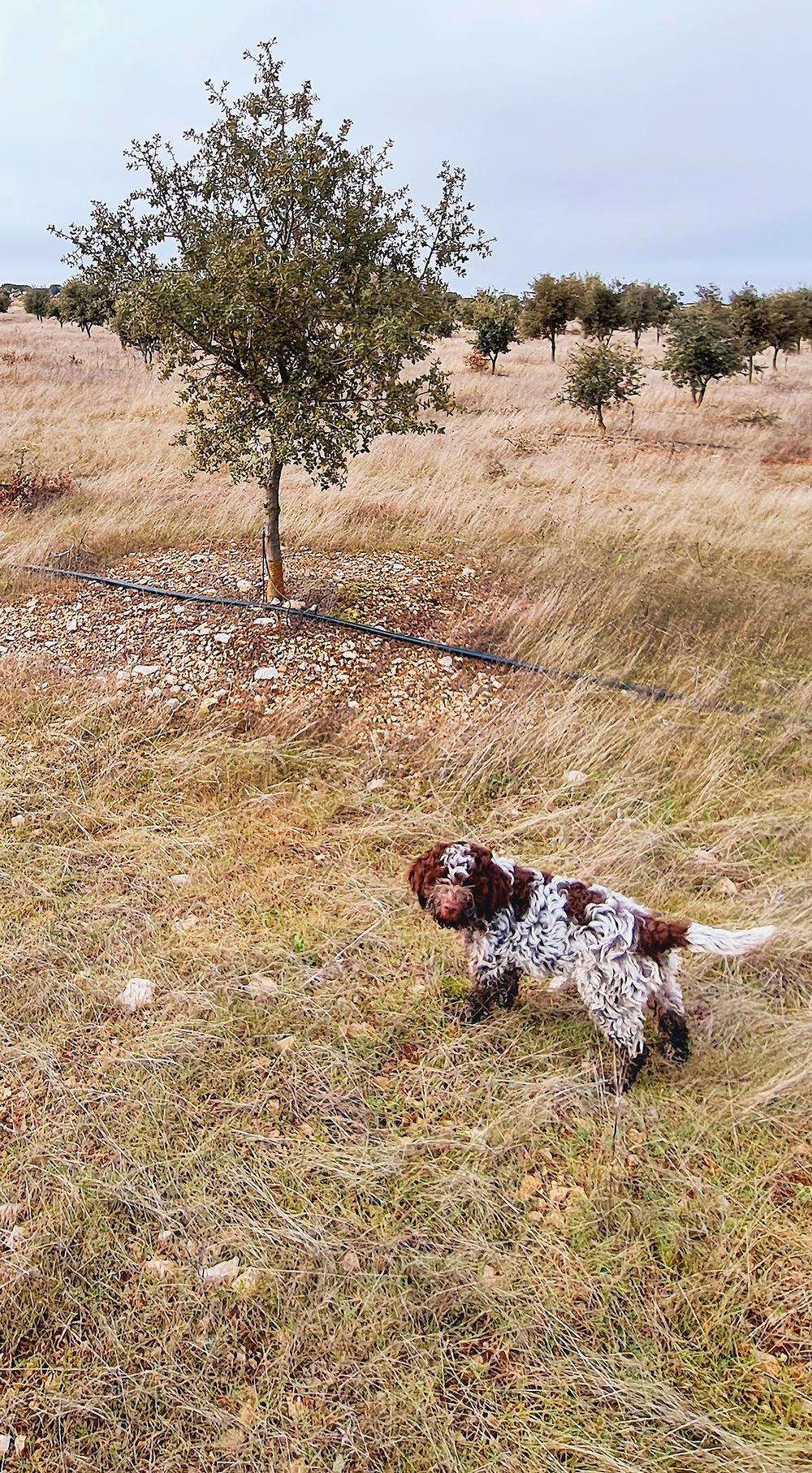 Un aumento en cien hectáreas de la superficie trufera