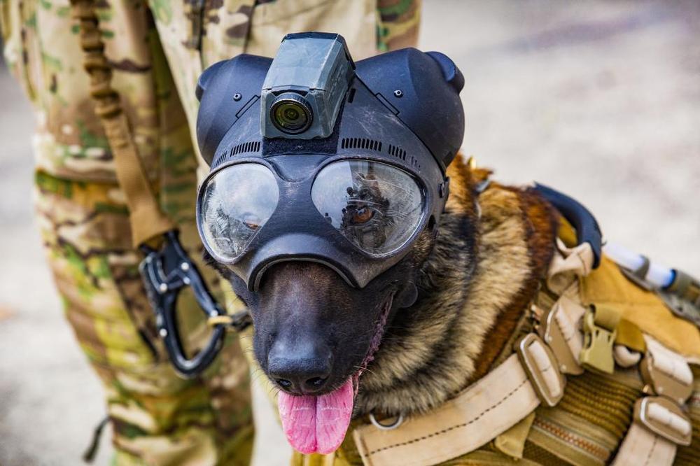 Truman, el perro pasto belga que forma parte de la Brigada Paracaidista