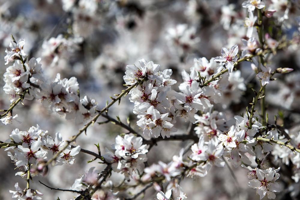 El almendro es un clásico de esta tierra y de ahí que haya dulces típicos como el mazapán