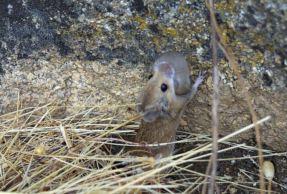 Ratón transportando a una de sus crías.