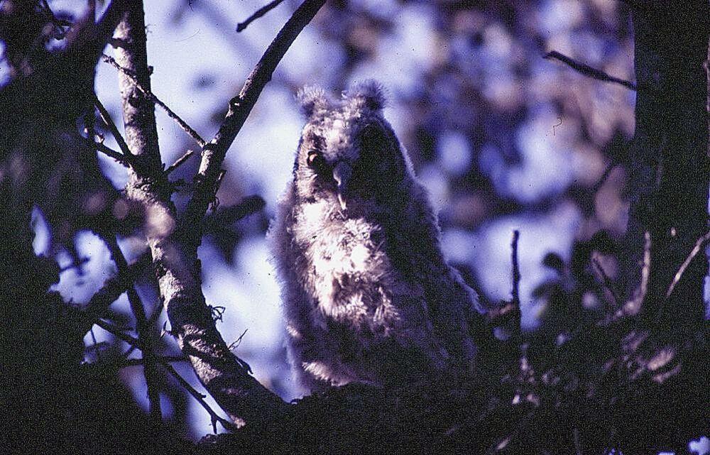 Pollo de búho chico oculto entre las ramas de una encina