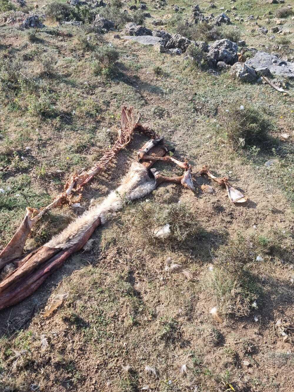 Cinco ovejas muertas por un ataque de lobo en Grijera