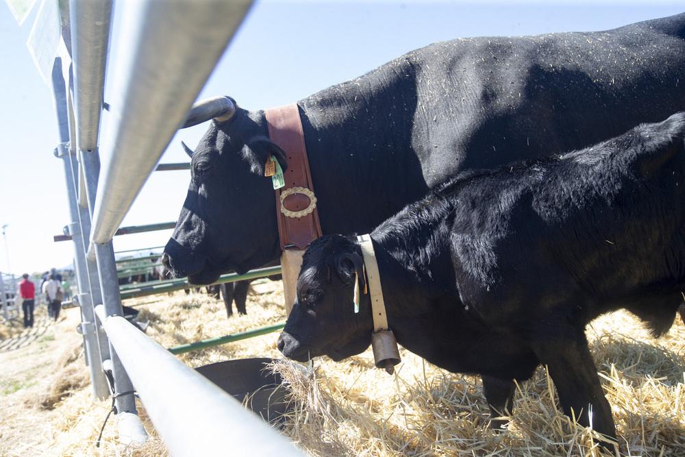 La Feria de Raza Avileña congrega a 119 cabezas de ganado