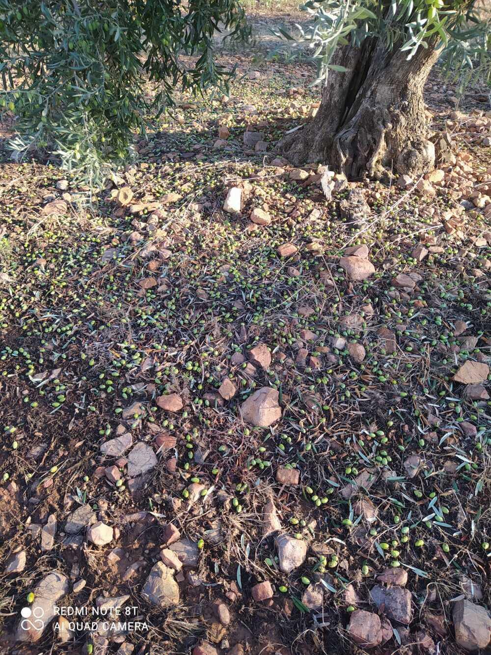 El viñedo y el olivar, afectados por el agua y el granizo