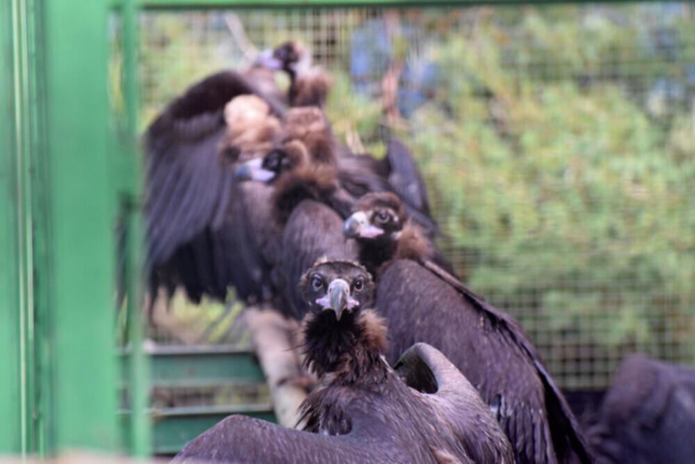 Veinte nuevos buitres negros vuelan ya libres en la Demanda