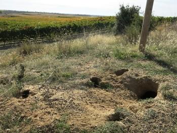 La presencia de madrigueras es una de las muestras visibles de la existencia de conejos en el campo.