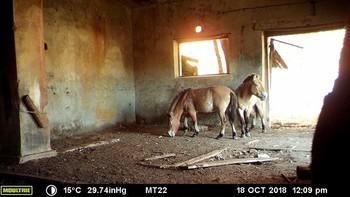 Chernobyl, santuario para una especie rara de caballo