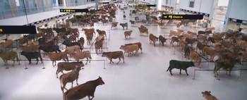 Cientos de vacas 'embarcan' en el aeropuerto de Ciudad Real