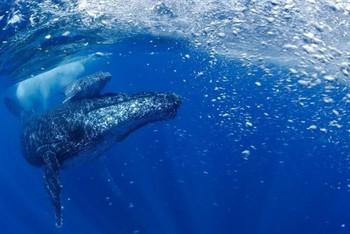 El resurgir de la ballena jorobada en el Atlántico Sur