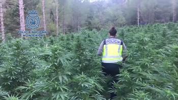 La PolicÁa Nacional desmantela la mayor plantación de marihuana localizada hasta la fecha en Aragón.