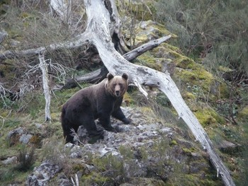 Seprona busca a un oso herido tras ser atropellado.
