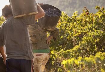 Distintas asociaciones coinciden en que el apoyo del Gobierno a los viticultores es «insuficiente».