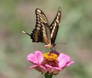 Mariposa libando el néctar de una flor silvestre.
