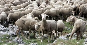 Rebaño de ovejas en la sierra riojana.