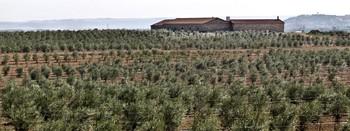 Campo de olivos de la empresa olícola Karey.