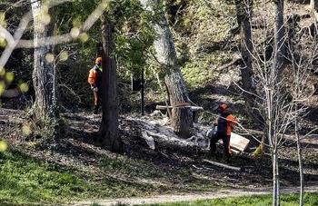 Los trabajadores cortaron el tronco del enorme chopo.