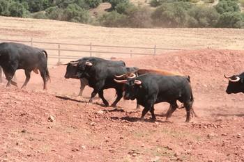 Toros de Daniel Ruiz en el Cortijo del campo.