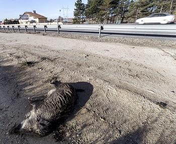 Imagen de archivo de un jabalí muerto por un accidente de tráfico.