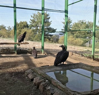 Primeros buitres negros introducidos en la jaula de aclimatación de Huerta de Arriba (Burgos).