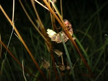 Luciérnagas, en peligro de extinción