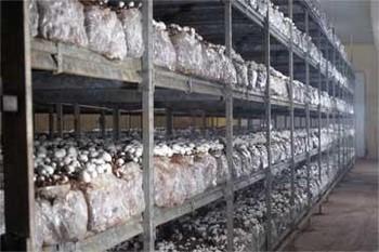 Producción de champiñón.