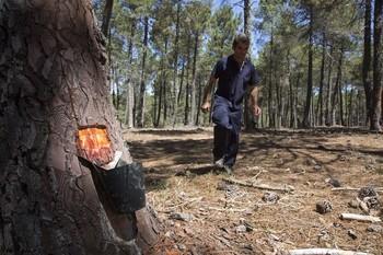 Un resinero realiza su trabajo en un pinar