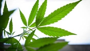 Piden 4 años por robo de marihuana medicinal en Hellín