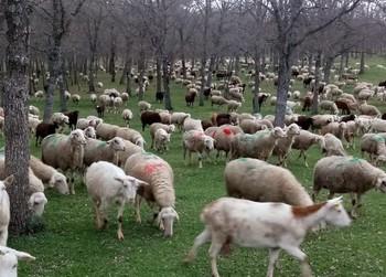 Asaja alerta del agravio al ovino y caprino