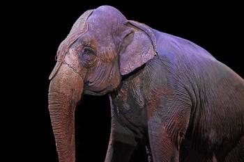 Francia prohíbe los animales salvajes grandes en los circos