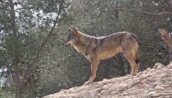 Cantabria pedirá al Gobierno que el lobo se pueda cazar