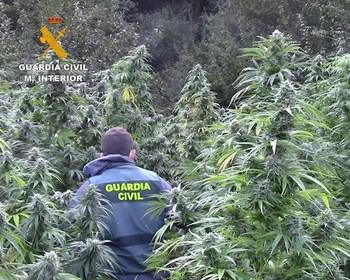 Plantación de marihuana descubierta en una paraje recóndito de la comarca de Montes de Oca, en la provincia de Burgos.