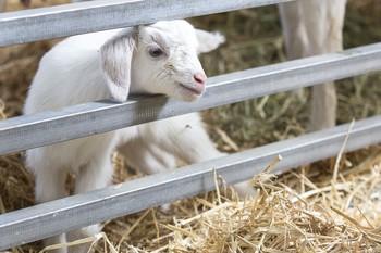 1,6 millones de ayudas a ganaderos de ovino y caprino