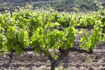 Imagen de un viñedo en las inmediaciones de Logroño.