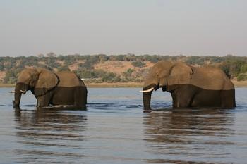 Hallan 275 elefantes muertos en Botsuana por causas desconocidas