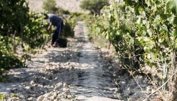 Un trabajador recoge uvas en vendimia.