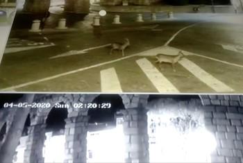 Dos corzos se pasean por el acueducto de Segovia
