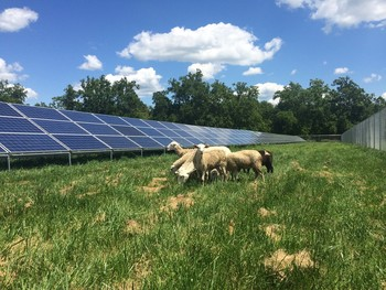 La oveja churra, aliada para los parques solares